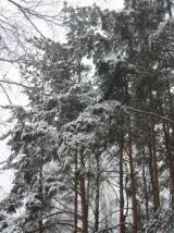 Сосновый бор зимой