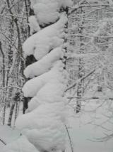 Белая береза, принакрылась снегом, будто серебром